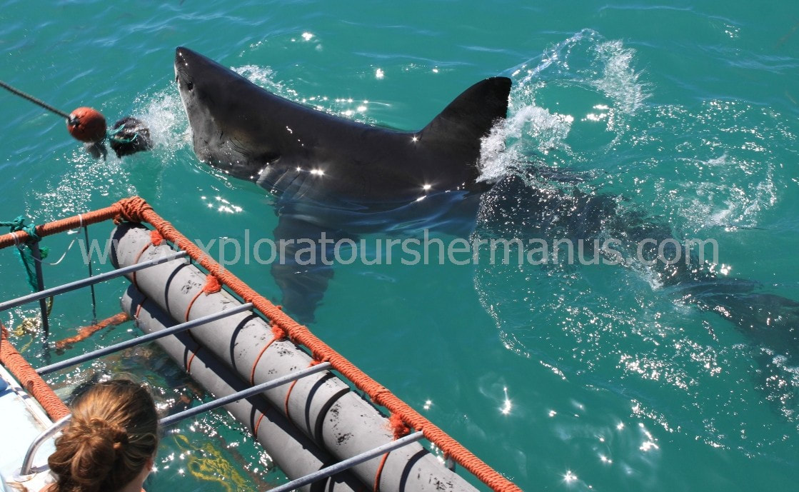 Great White Shark cage diving, Hermanus, South Africa