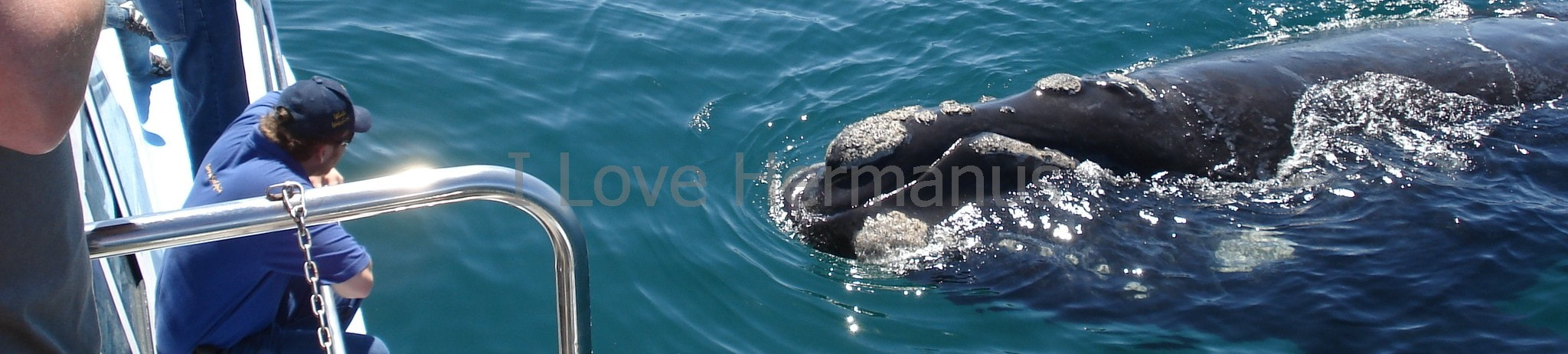 Whale Watching boat trips in Hermanus are truly amazing -  I ❤️ Hermanus